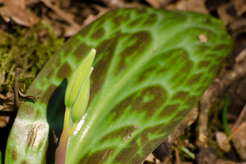 Trout Lily about to bloom (notice its distinctive leaf)
