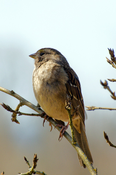 Golden-crowned Sparrow (They will be heading north soon)