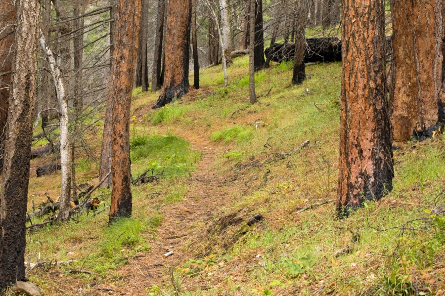 Signs of an old forest fire (the thick bark of mature Ponderosa Pines withstand the intense heat of forest fires much better than other trees)