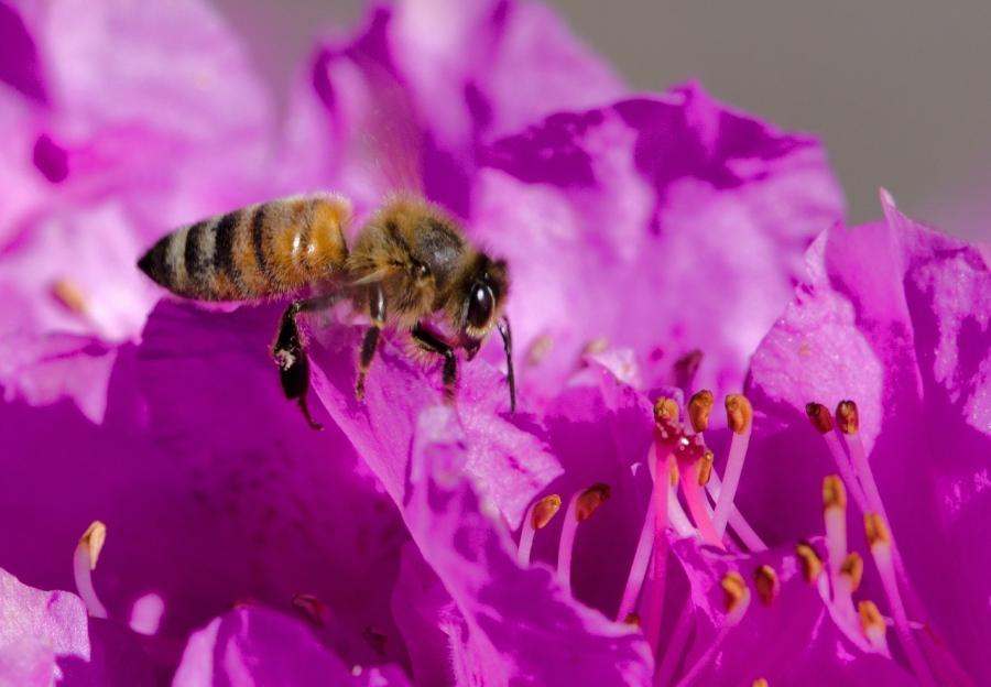 Another bee enjoying a flower