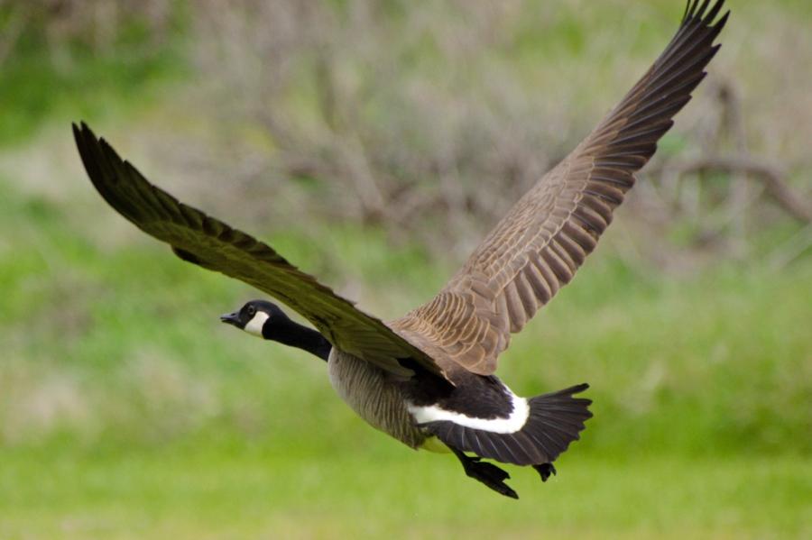 Canada Goose getting airborne