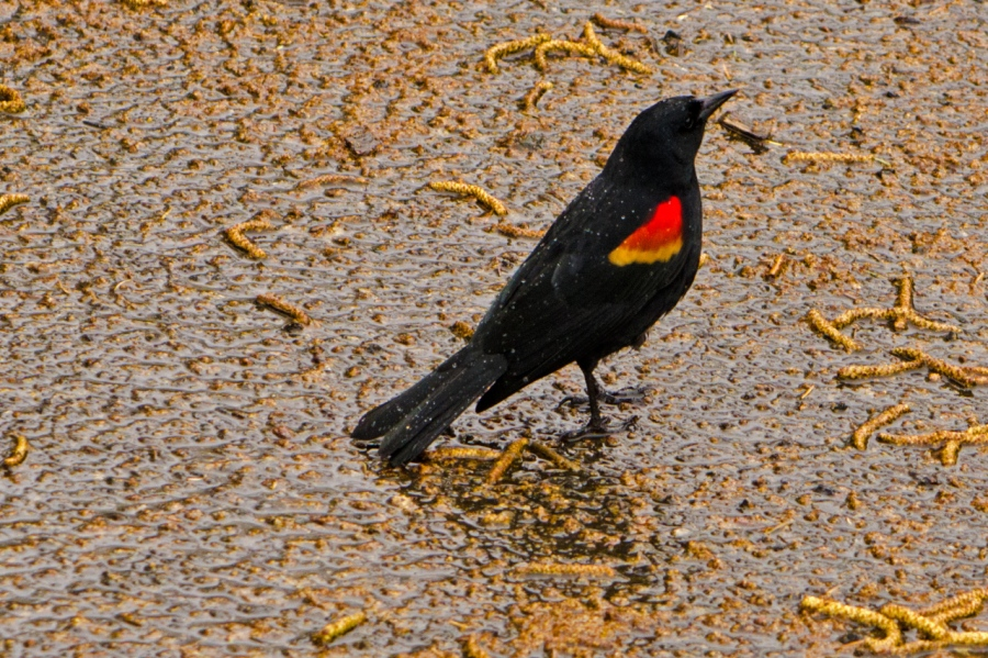 Red-wing Blackbird, of course