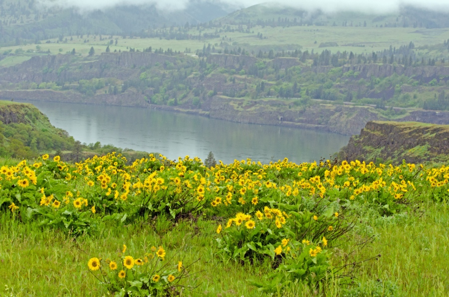 Balsamroots in bloom with the Columbia River in the background