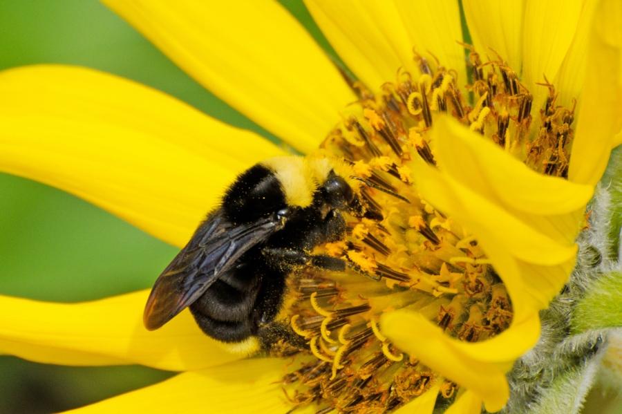 Bee enjoying a Balsamroot