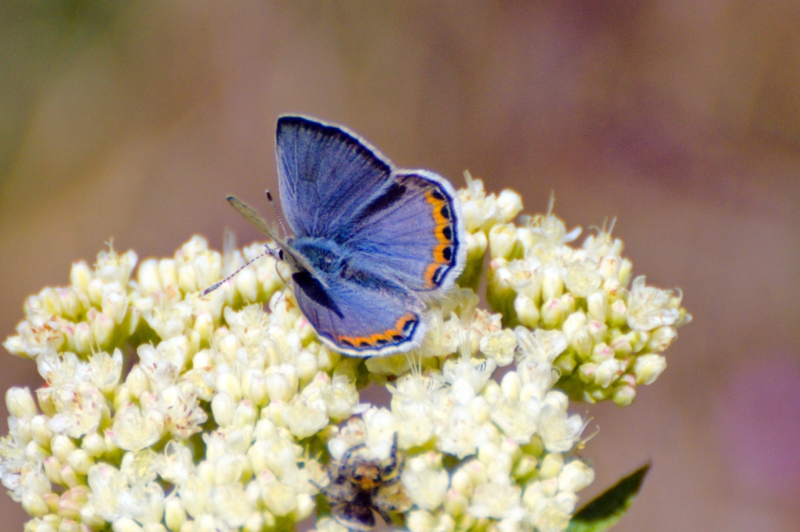 Orange-margined Blue Butterfly on a Buckwheat flower