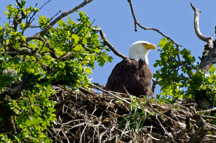Adult Bald Eagle guarding its nest
