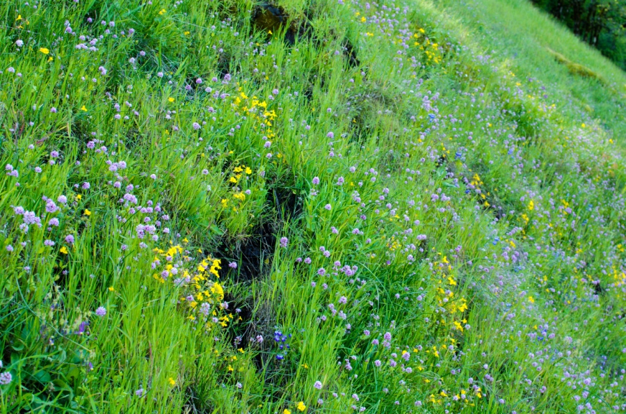 Wildflowers covering the hillside