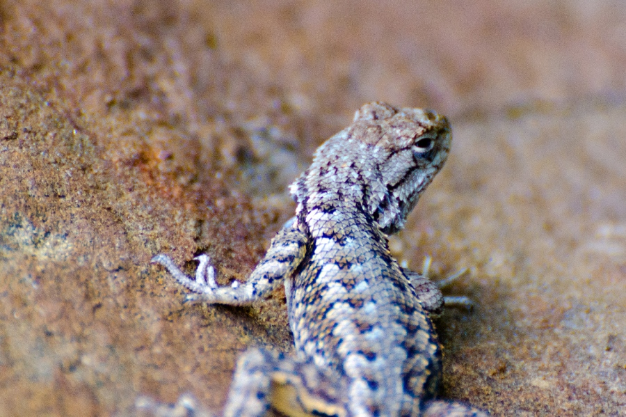 Fence Lizard (not much of a poser)