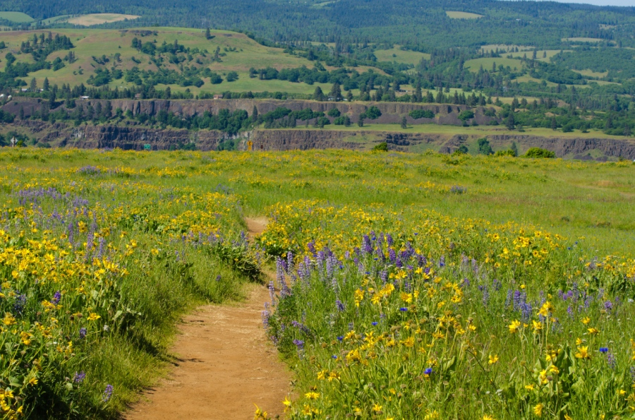 Lower trail lined with balsamroot and lupine