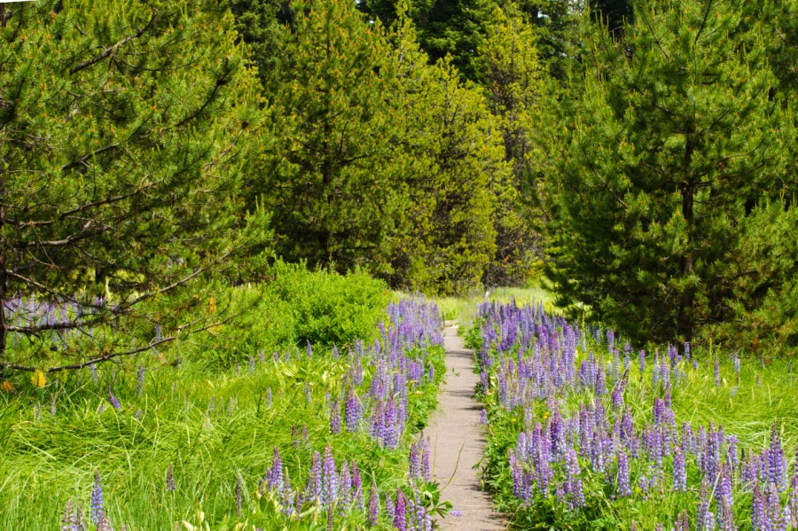 Lupine lining the trail