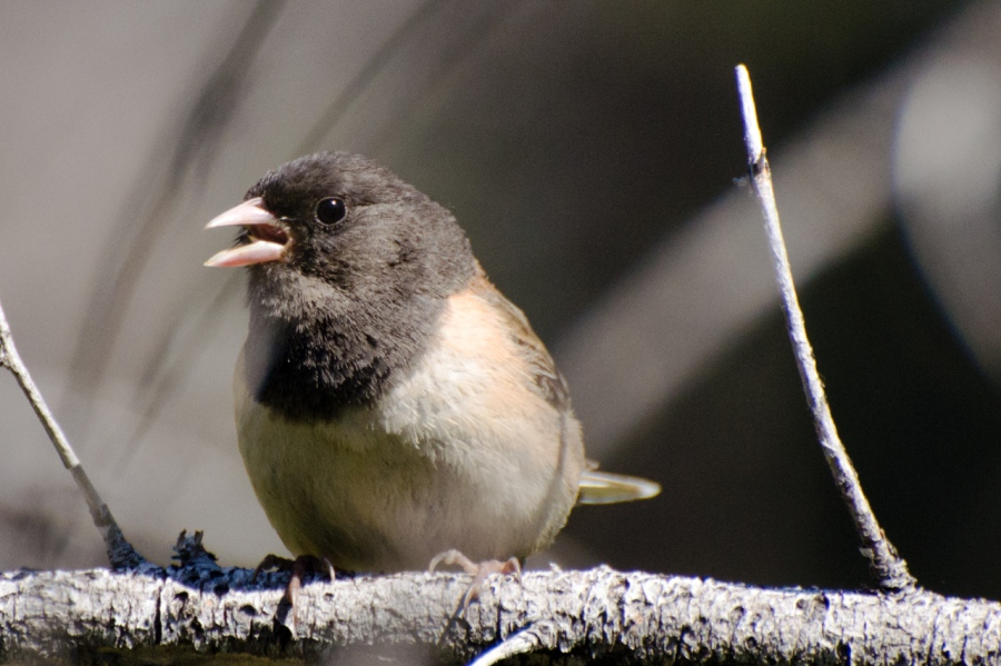 Fascinating Moods of a Dark-eyed Junco