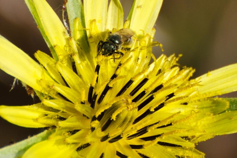 A bee enjoying a Salsify