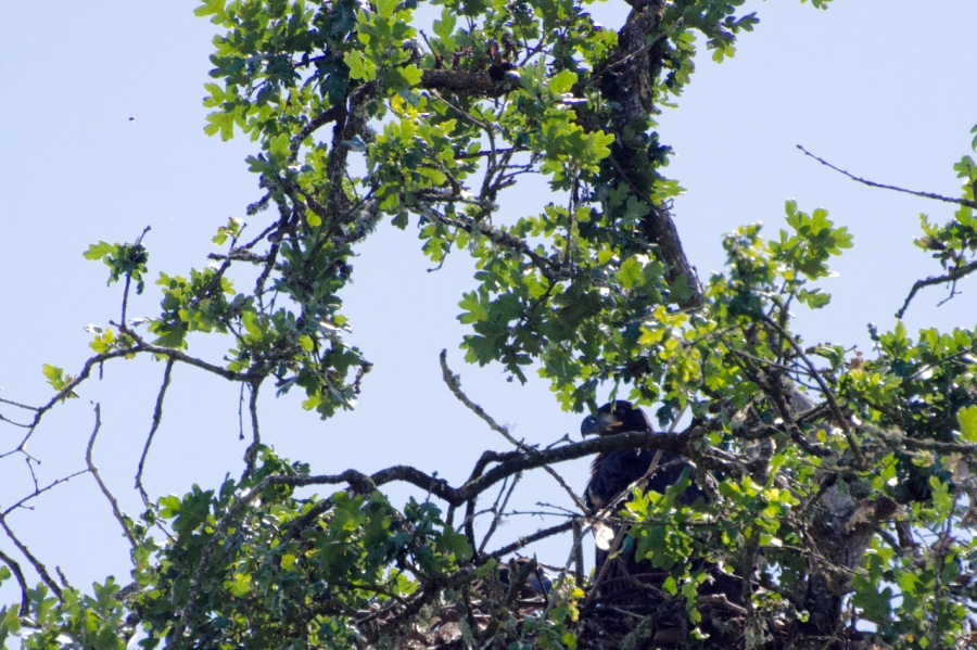Eaglet on its nest hiding in the shadows