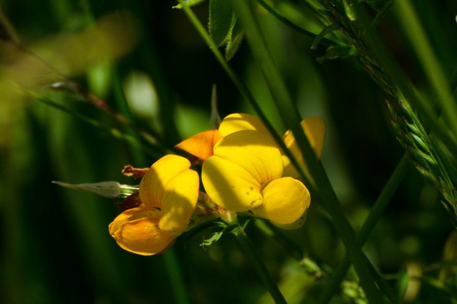 Golden Pea