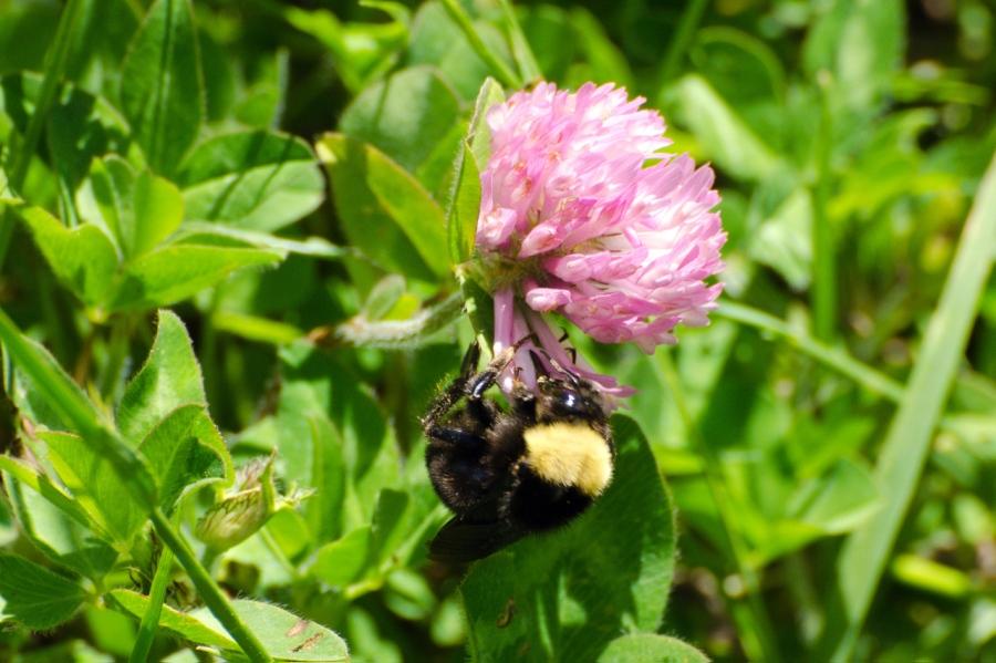 Bumblebee enjoying a Clover