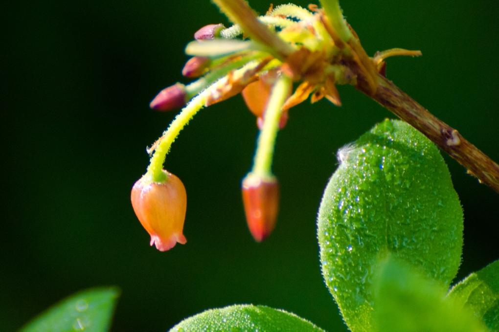 Huckleberry flower