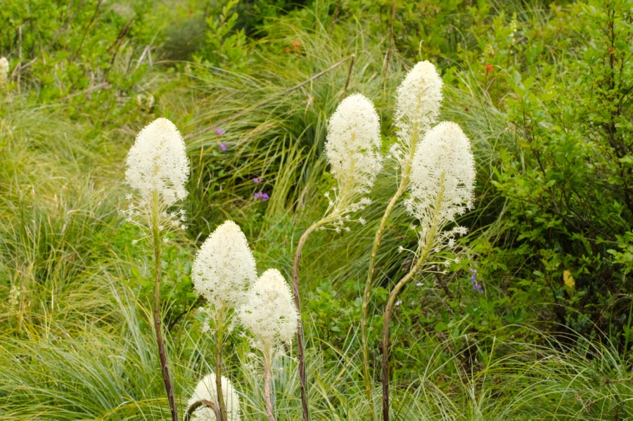 Bear-grass (few are in bloom this year)