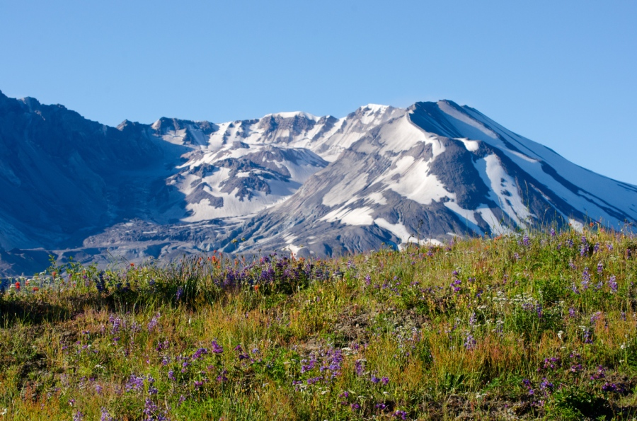 Mt. St. Helens growing dome is easily visible over a field of wildflowers