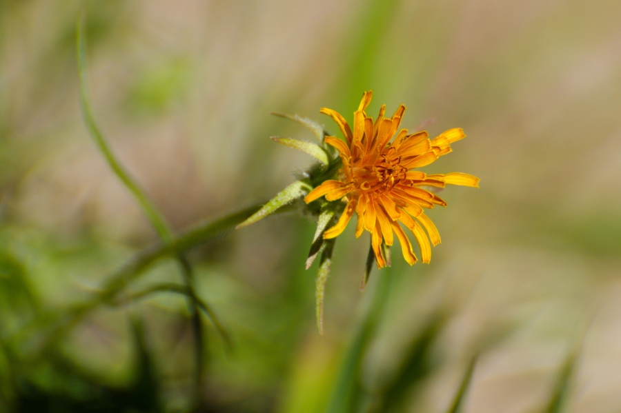 Orange Agoseris (a favorite)
