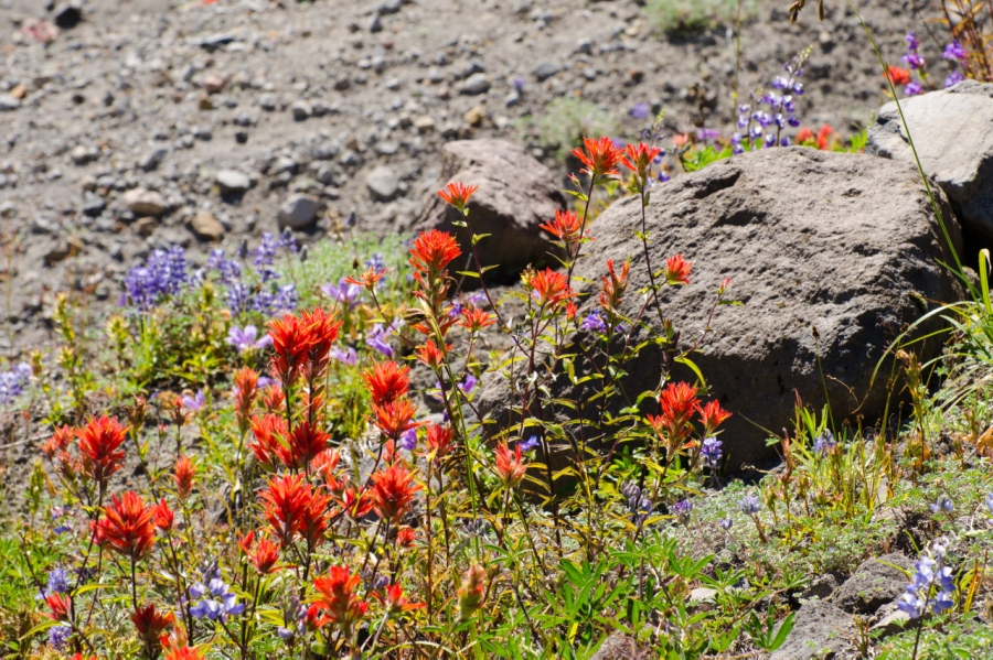 Paintbrush in another plant that thrives in volcanic soil