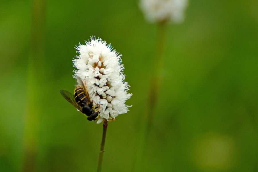 Bee on a Bistort