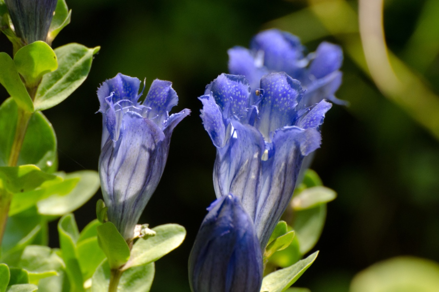 Gentian opening up to the sunshine