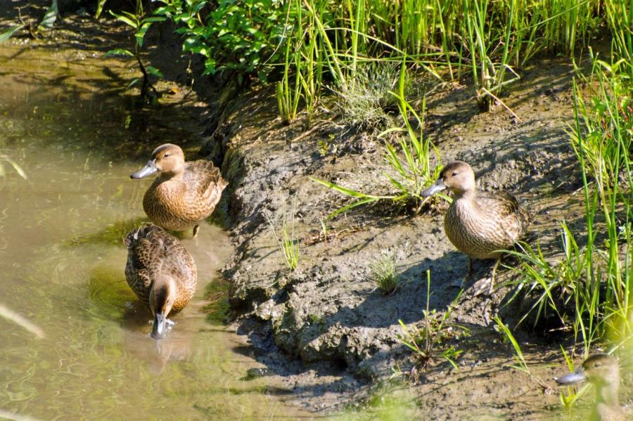 Ducks (Shovelheads?)