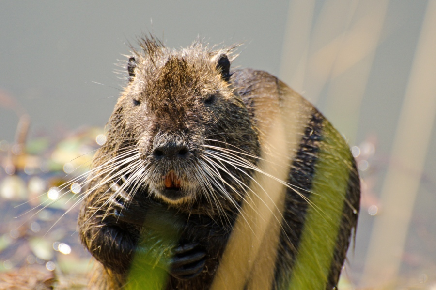 Nutria (a giant rat)