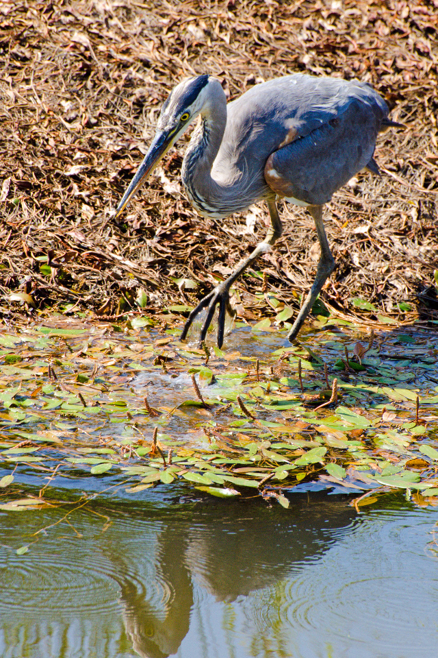 Great Blue Heron going for the kill