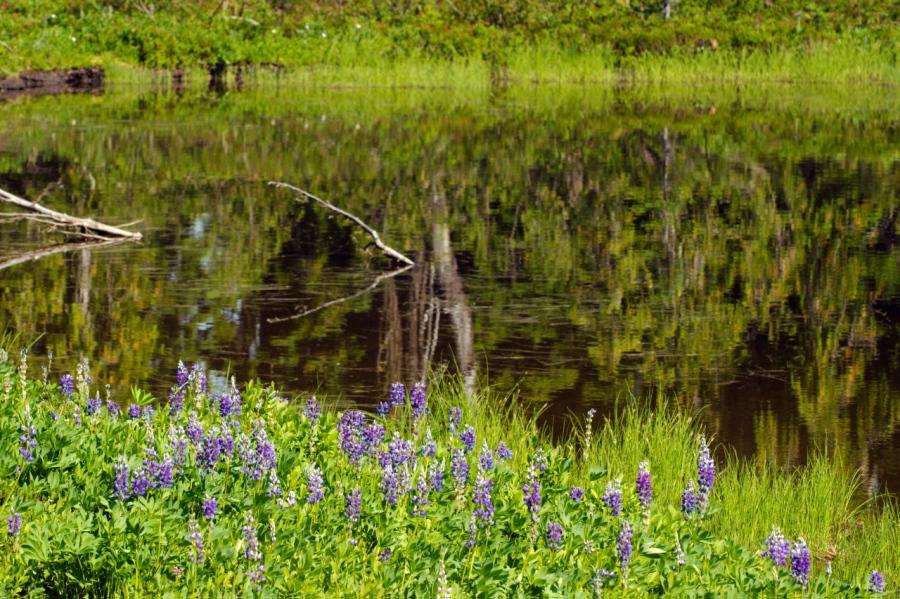 Purple Lupine near a sub-alpine tarn