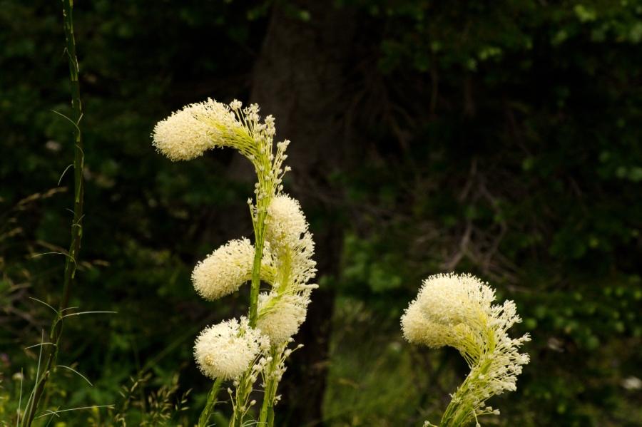 Bear-grass