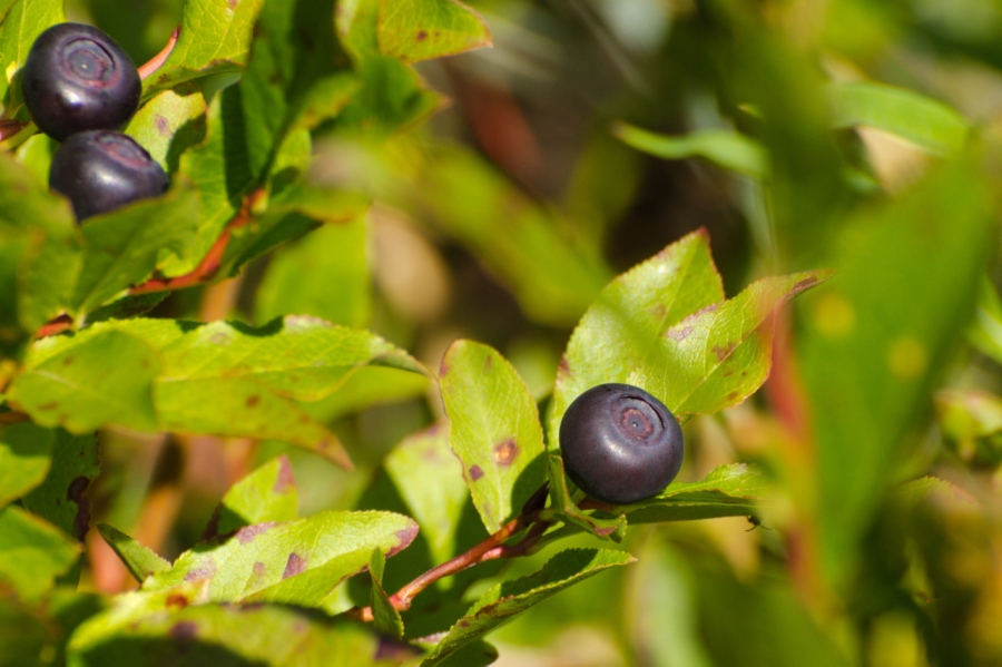 Ripe Huckleberries
