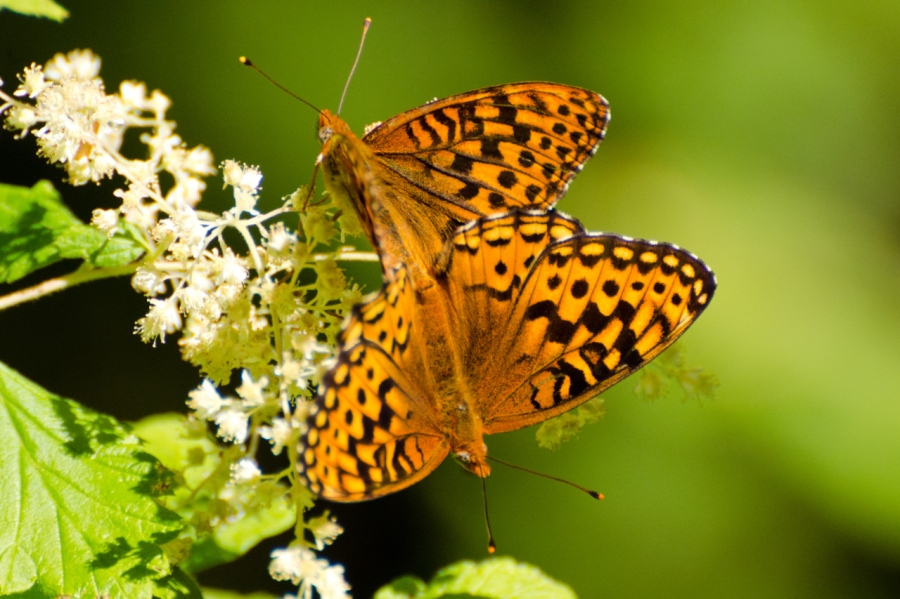 Young love (Fritillary Butterflies)