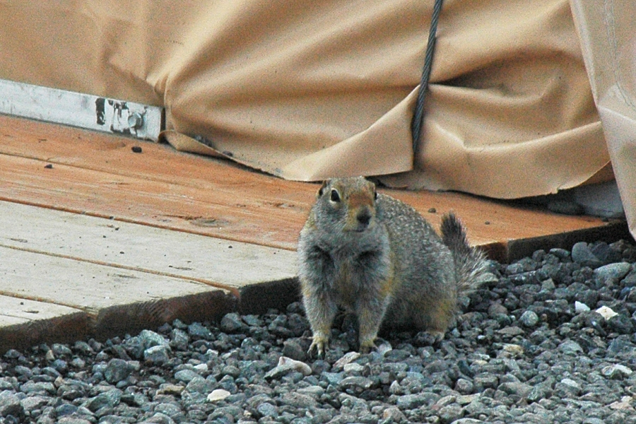 Ground Squirrel looking for a treat