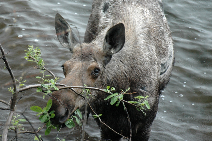 Up Close and personal with a mature Cow Moose having a snack