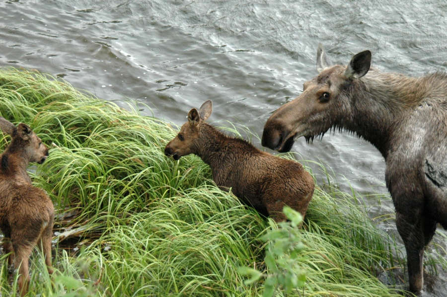 Moose Cow and Calves near Chitina