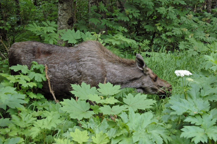 A Moose, a common sight on Anchorage's bike paths