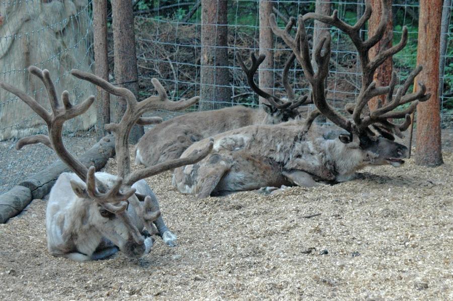 Caribou taking a break