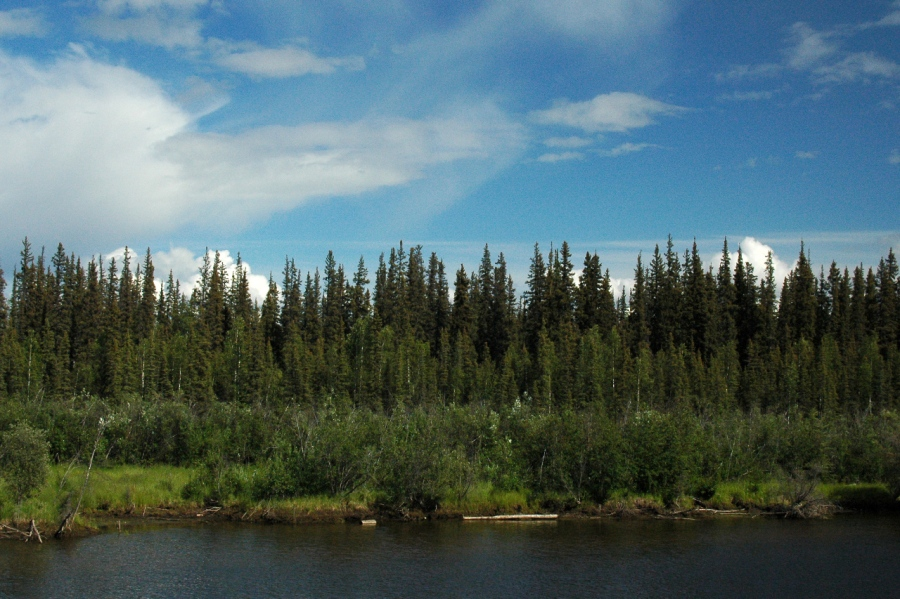 Classic forest in the Interior of Alaska - - -