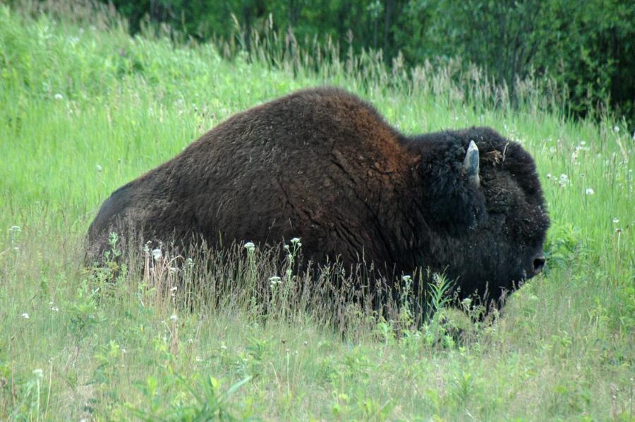 Bison taking a nap