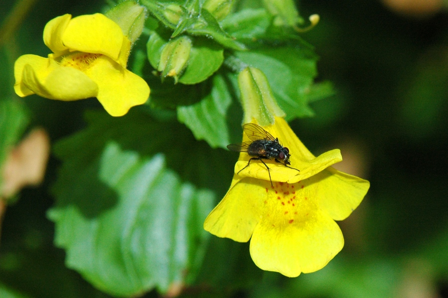 Fly and a Monkey Flower
