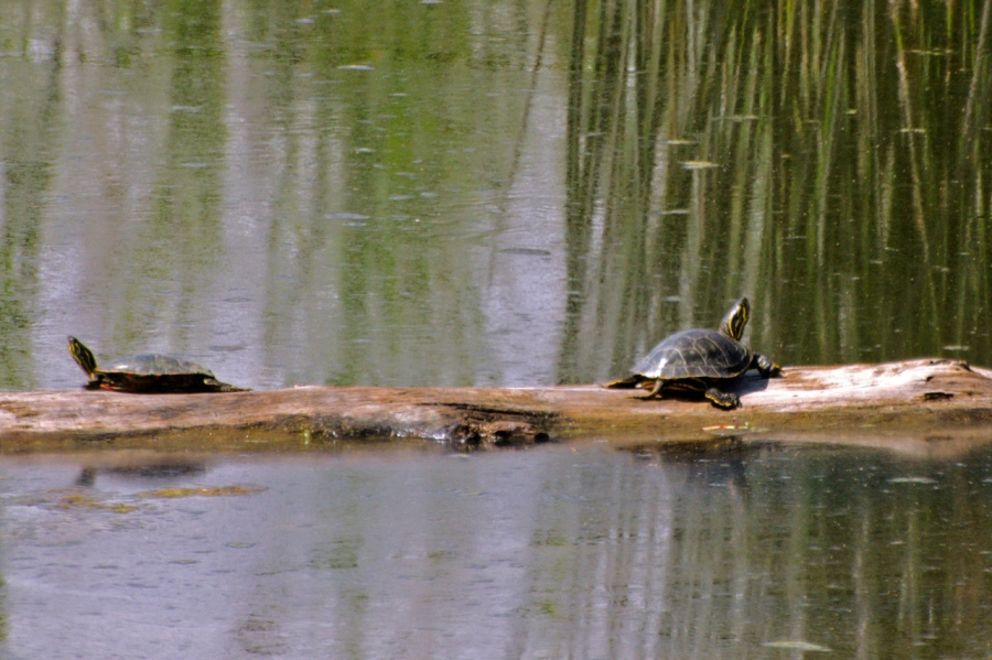 Western Pond Turtles taking a break