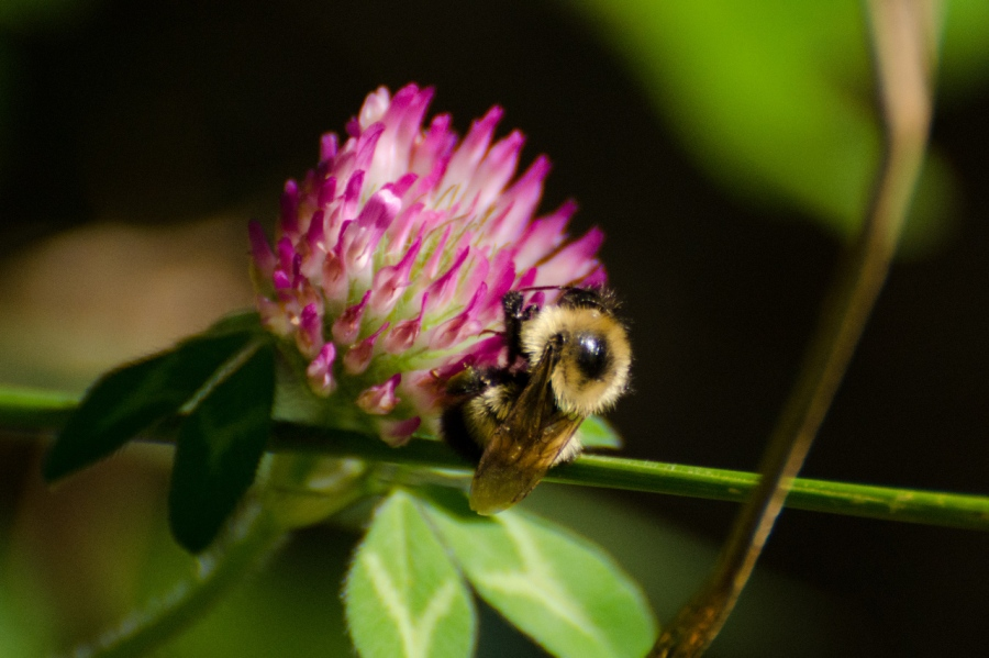 A Bee enjoying a Clover