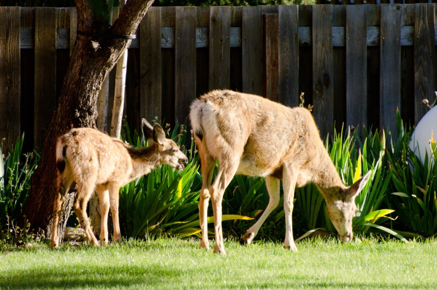 Mule Deer finding a snack in the neighbor's yard