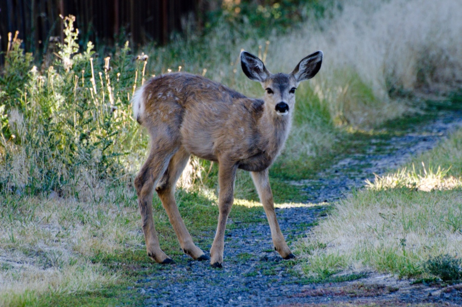Young Mule Deer wandering into the yard