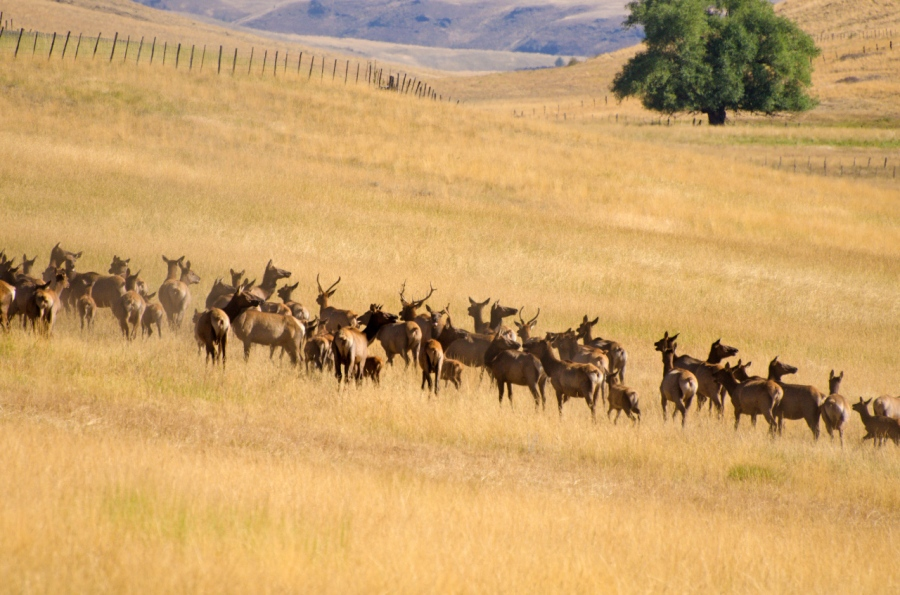 Large herd of Elk near Zumwalt Prairie, getting ready to go through two barbwire fences and over the Buckhorn Road