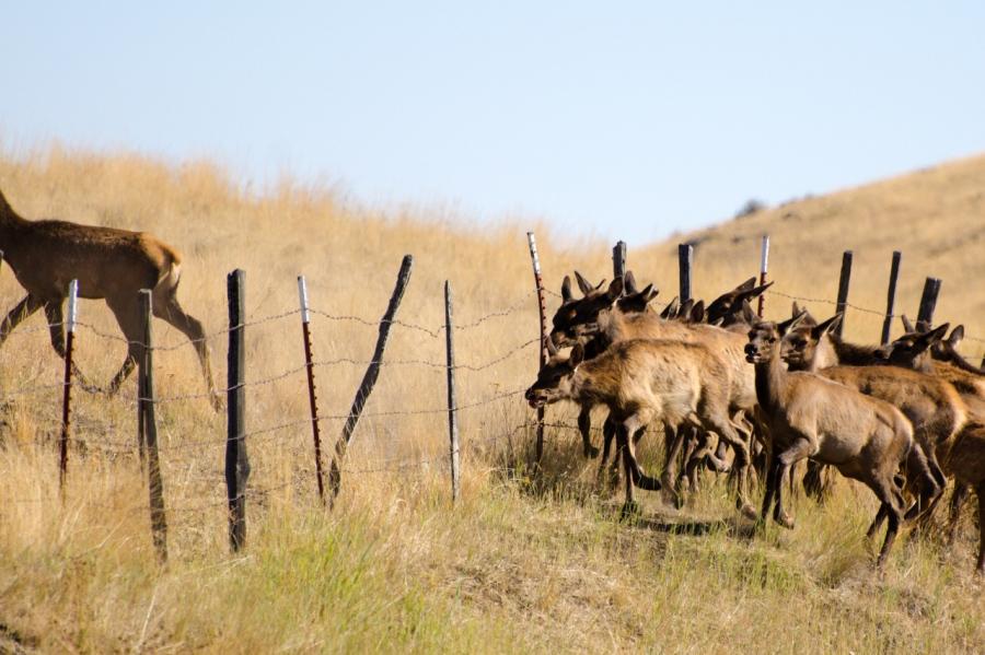 Elk Cow frees her leg from the barbwire and runs off