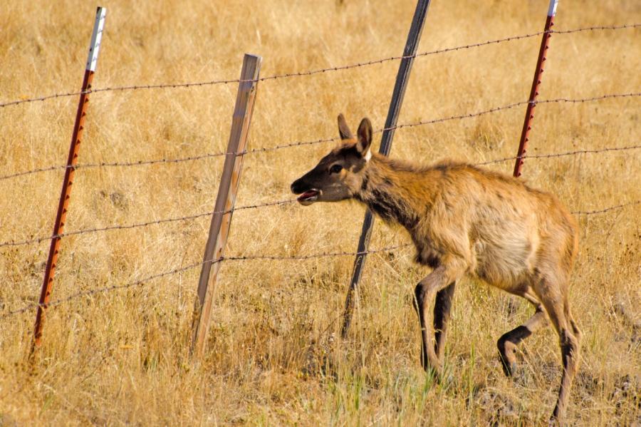 Calf Elk looking for a way through