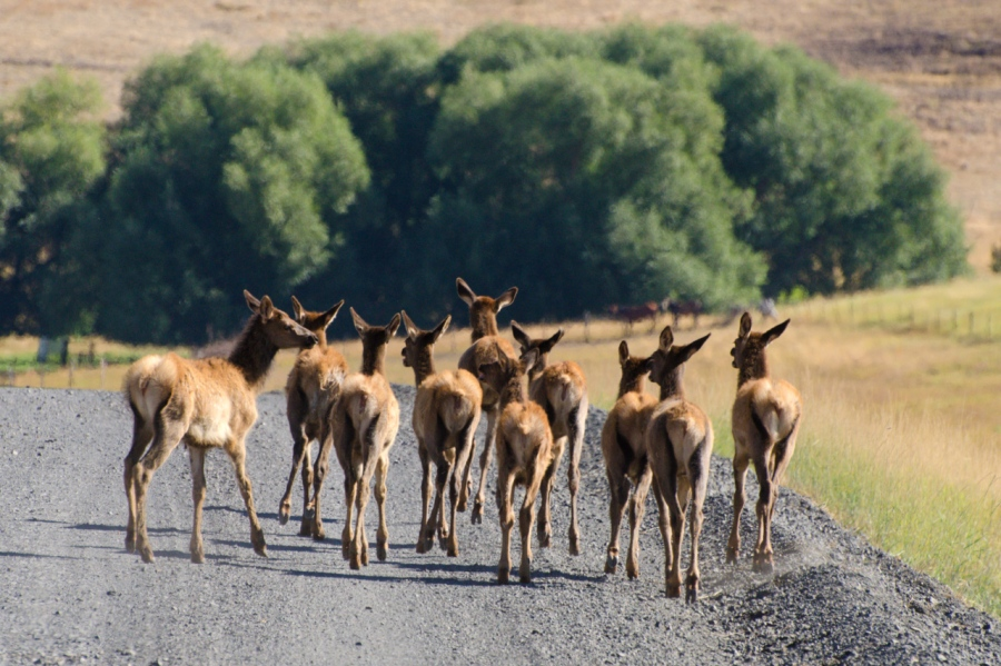 Group of young Elk giving up for the time being