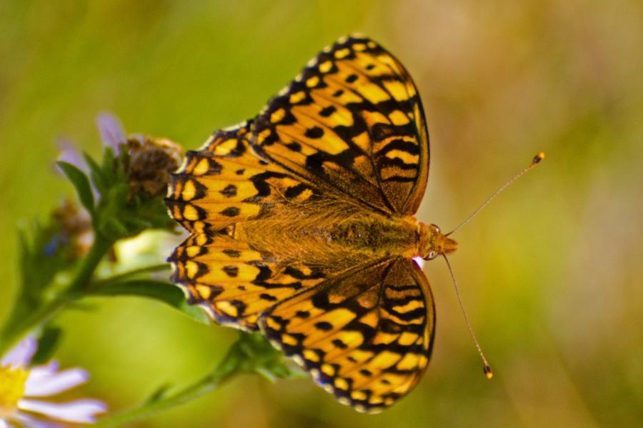 Fritillary Buterfly